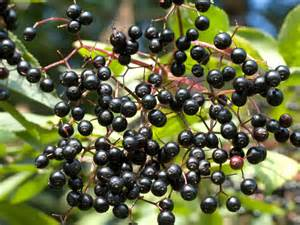 elderberries 2